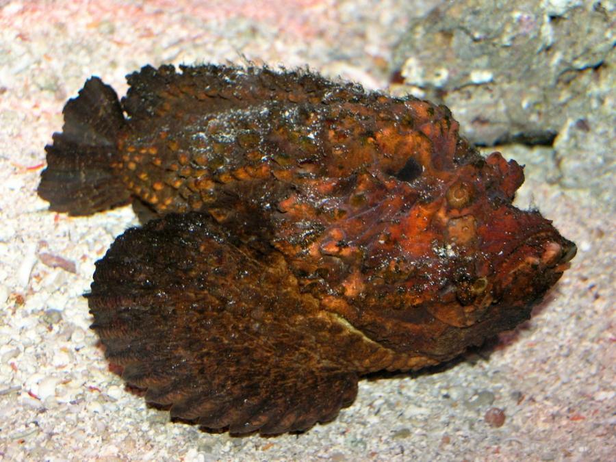Необычная рыба-камень: опасность на дне моря (5 фото)