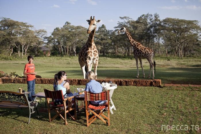 Кения. Завтрак с жирафом (16 фото)