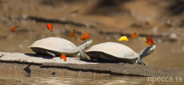 Бабочки пьют слезы черепах (4 фото)