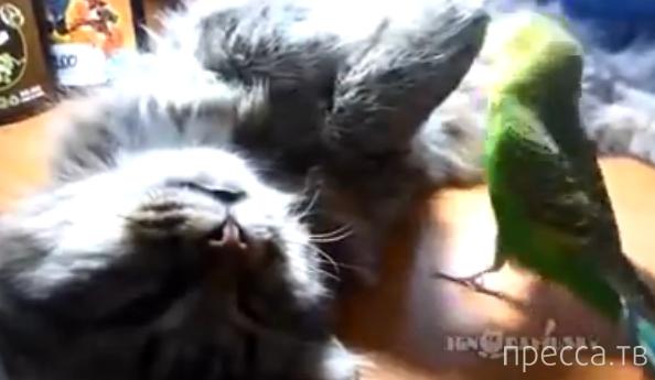 Общительный попугай не дает коту поспать...