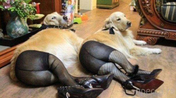 Собаки в чулках и обуви покоряют Интернет (7 фото)