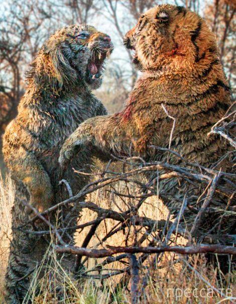 Кровавая схватка двух тигров за территорию (9 фото)