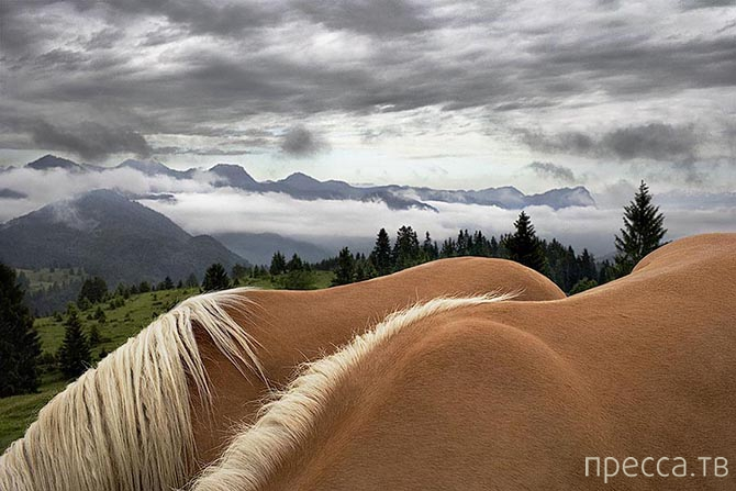 Грация прекрасных лошадей в фотографиях Тима Флака (41 фото)