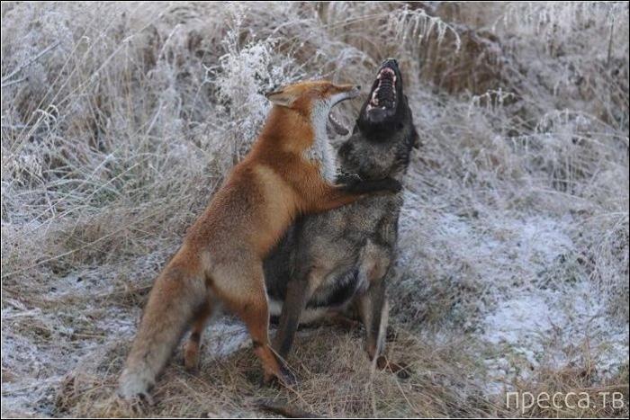 Лис и пёс (10 фото)