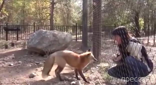 Хитрый лис знает, как выпросить лакомство