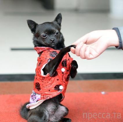 Собака по кличке Ке Ке прогуливается на задних лапах (8 фото)