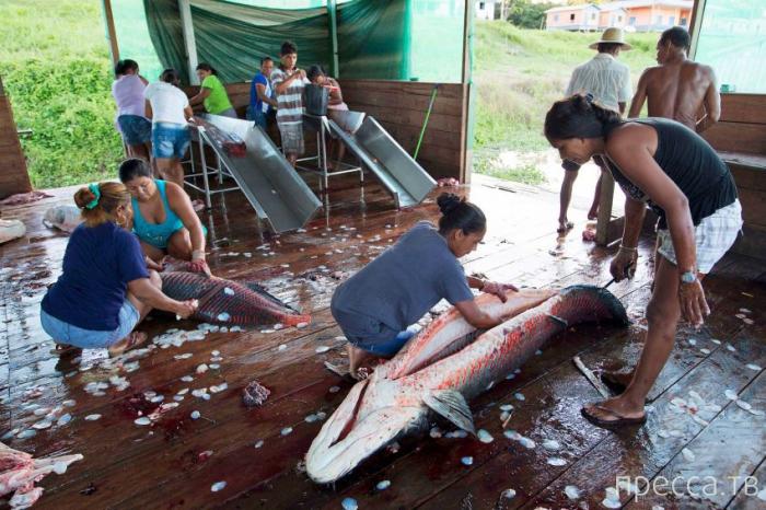 Рыбалка на рыбу Арапаима в Бразилии (13 фото)