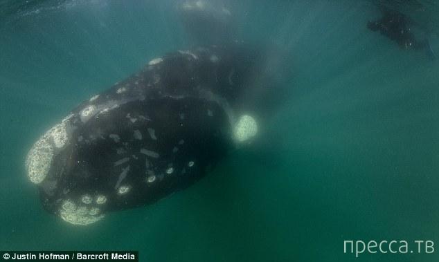 Уникальные съемки кита с детенышем (6 фото)