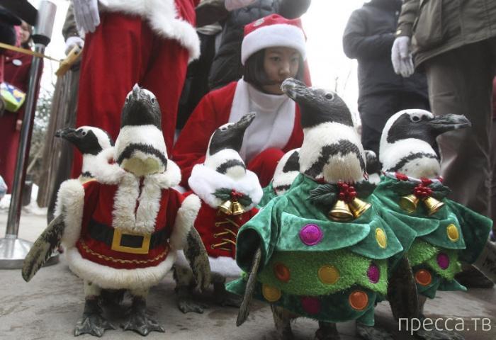 Рождественские пингвины в Южной Корее (18 фото)
