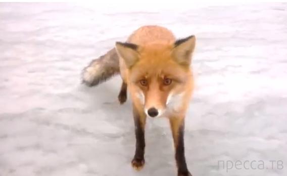 Голодная дикая лиса вышла к рыбакам... Саратовская область