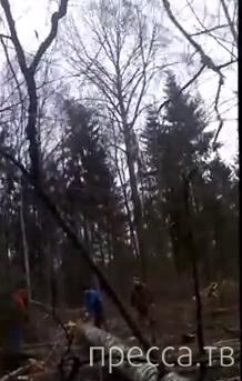 Падение спиленного дерева. Повезло...