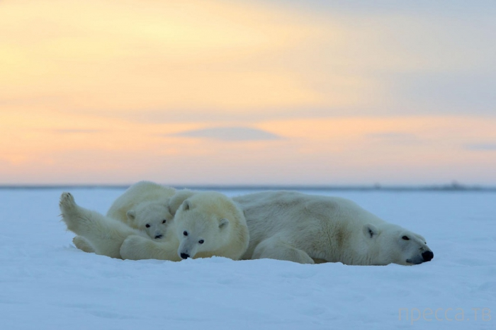 Белые медведи на Аляске от фотографа Сильвена Кордье из Эльзаса (Франция) (10 фото)