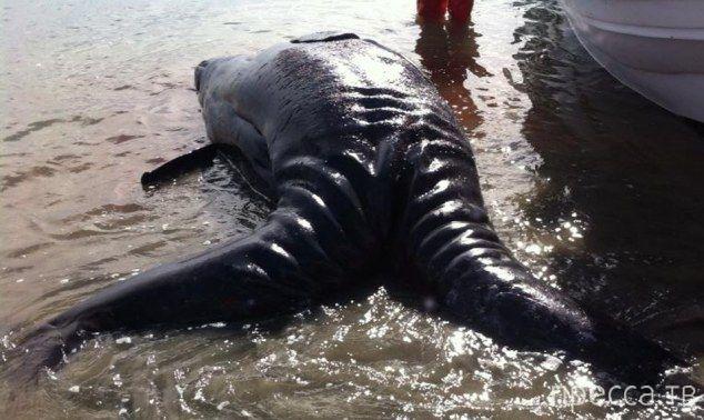 Первые найденные сиамские близнецы среди серых китов (5 фото)