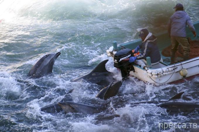 Массовое убийство дельфинов (7 фото)