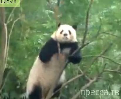 Панда сходит с ума