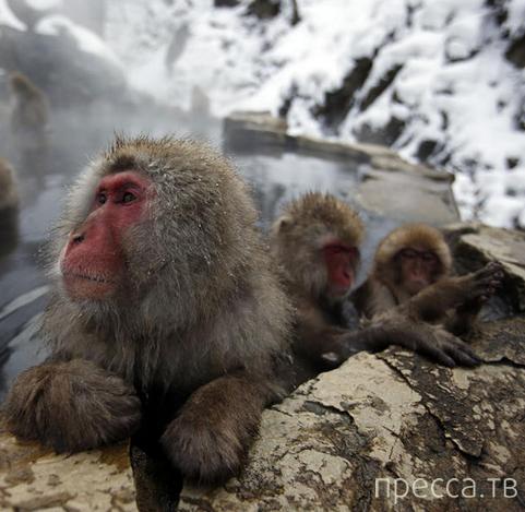 Снежные обезьяны Японии (14 фото)