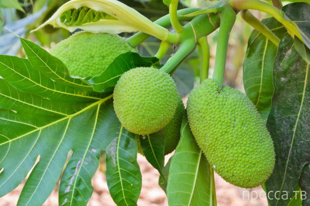 Топ 10: Мифические истории о происхождении фруктов (11 фото)