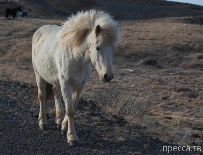 Исландские лошадки (16 фото)