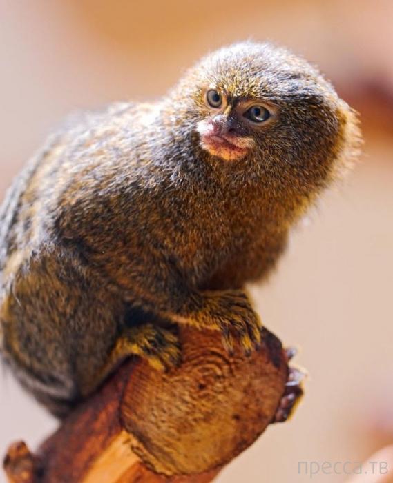 Милые и забавные животные - карликовая мартышка (18 фото)