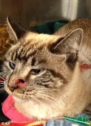 Кот, пробитый насквозь стрелой, сумел выжить (9 фото)