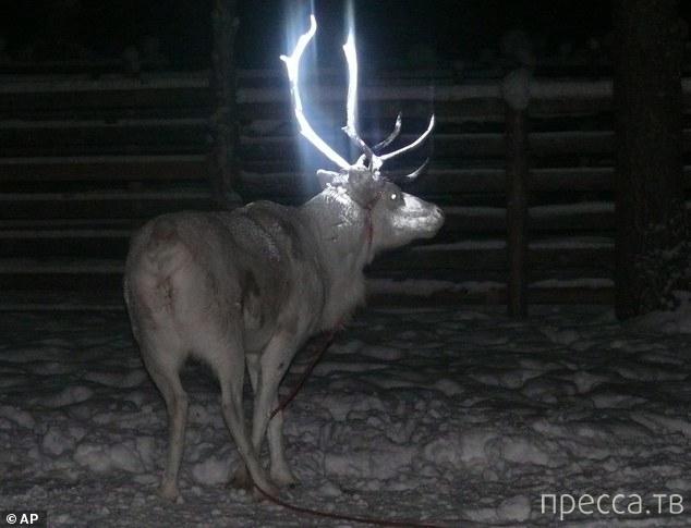 Олени со светящимися рогами (2 фото)