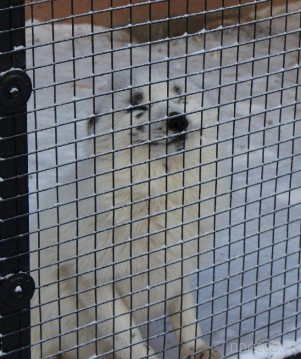 Ручная лисичка из Красноярского зоопарка по кличке Весна (20 фото)