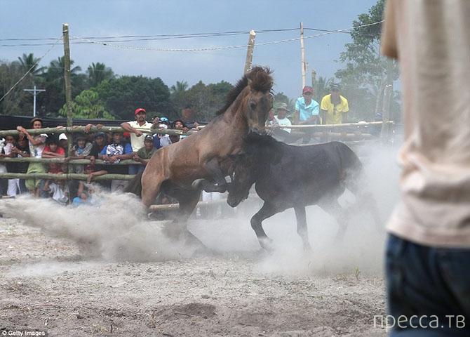 Запрещенные лошадиные бои на Филиппинах (19 фото)