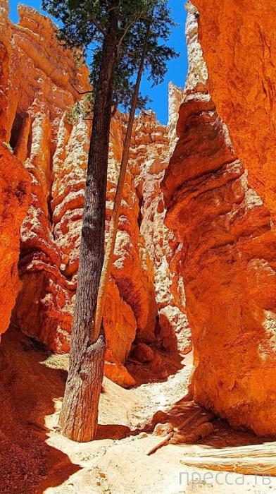 Сосны-великаны в Национальном парке Брайс-Каньон (Bryce Canyon National Park), США (12 фото)