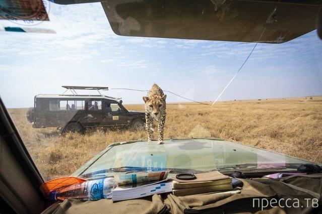 Встреча с гепардом в Серенгети (9 фото)