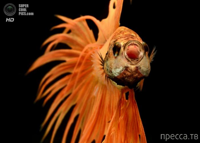 Красивые фотографии аквариумных рыбок от фотографа Висаруте Ангкатаванича из Бангкока (8 фото)