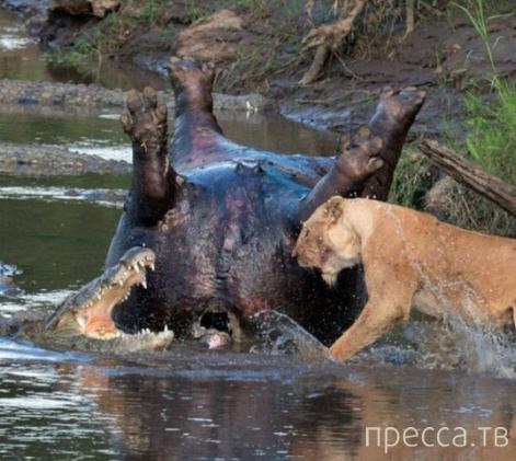 Львица против крокодилов (3 фото)