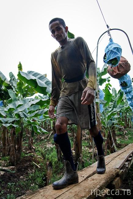 Как выращивают и собирают бананы (16 фото)