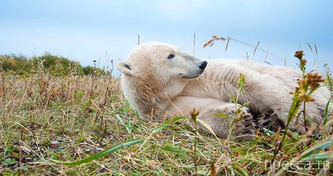 Где живут белые медведи (16 фото)