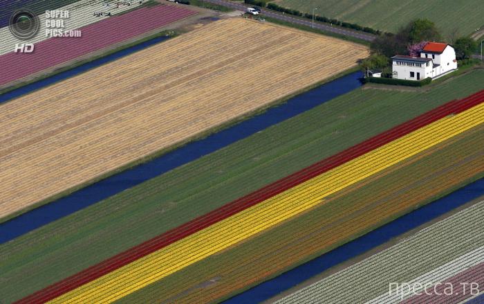 Тюльпановые поля с высоты птичьего полета в Лиссе, Нидерланды (6 фото)