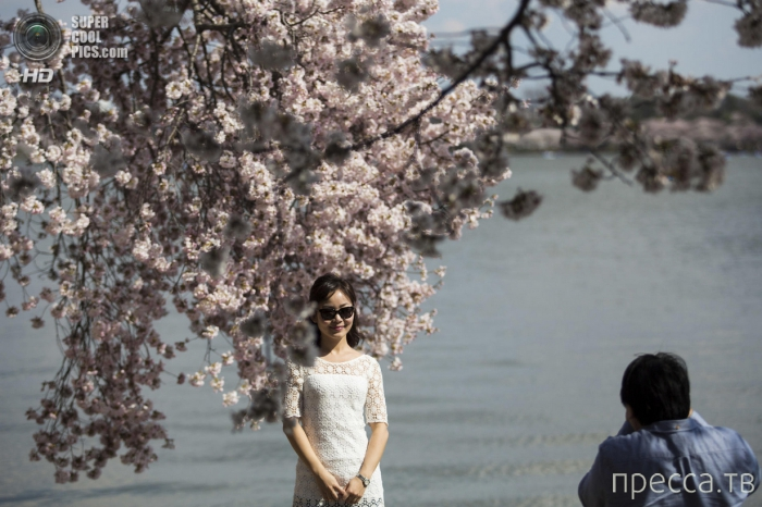 Фестиваль цветения сакуры в Вашингтоне (15 фото)