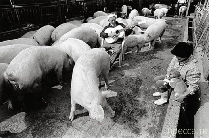Фотосессия японского фермера Otchan со свиньями (9 фото)