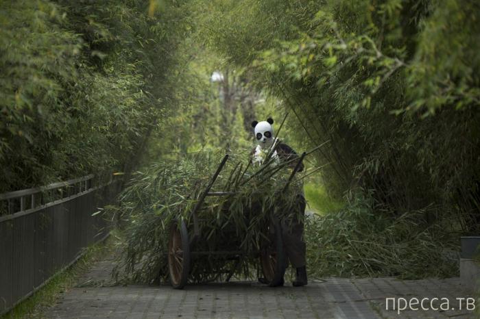 Как выращивают панд в китайской провинции Сычуань (13 фото)