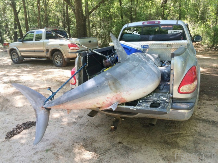 Рыболовы из Флориды поймали гигантскую акулу-мако (6 фото + видео)