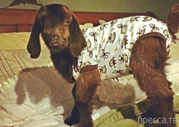 Забавные животные в пижамах (20 фото)