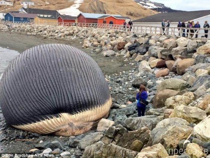 «Взрывоопасный» кит пугает жителей канадского города Траут Ривер (3 фото)