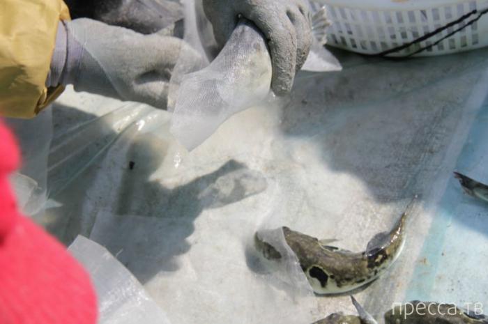 Ферма по выращиванию рыбы фугу (21 фото)