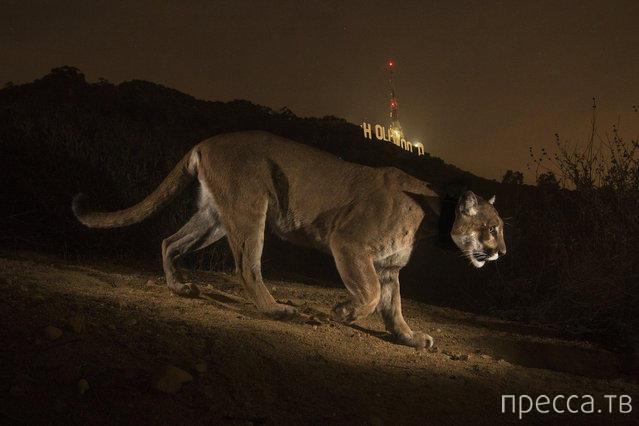 Большие кошки от фотографа National Geographic Стива Винтера (9 фото)
