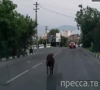 Овца на дороге...