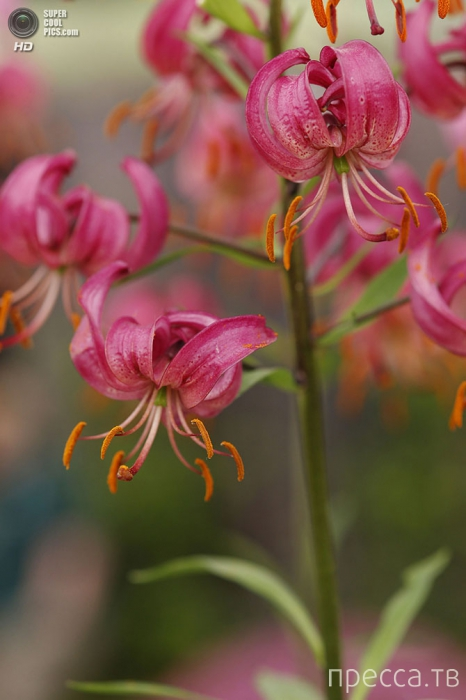 Выставка цветов и ландшафтного дизайна Chelsea Flower Show 2014 в Лондоне (30 фото)