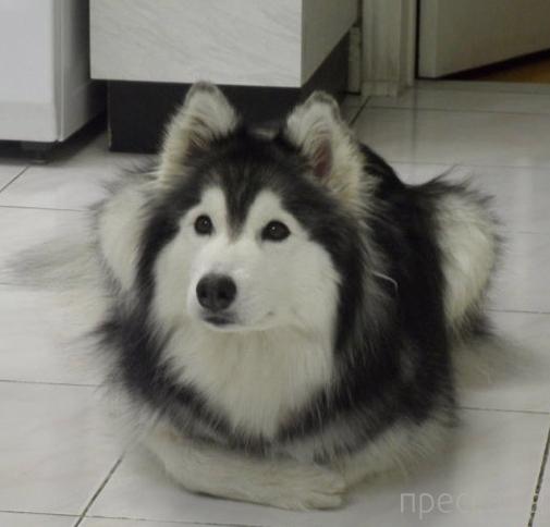 Собака, выросшая с котами, думает, что она кошка (3 фото)
