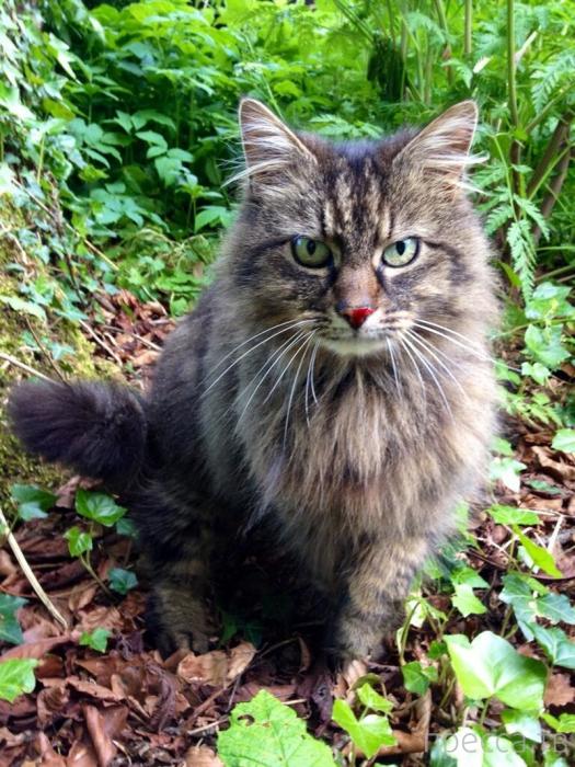 Необычный кот по кличке Смельчак (Bodacious) (15 фото + видео)