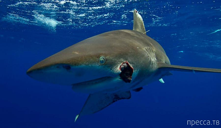 Страшный хищник - Акула-мако (11 фото)