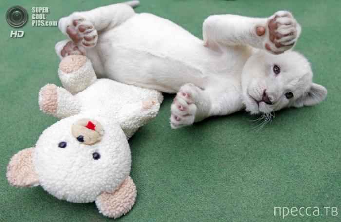 Белые львята (4 фото)
