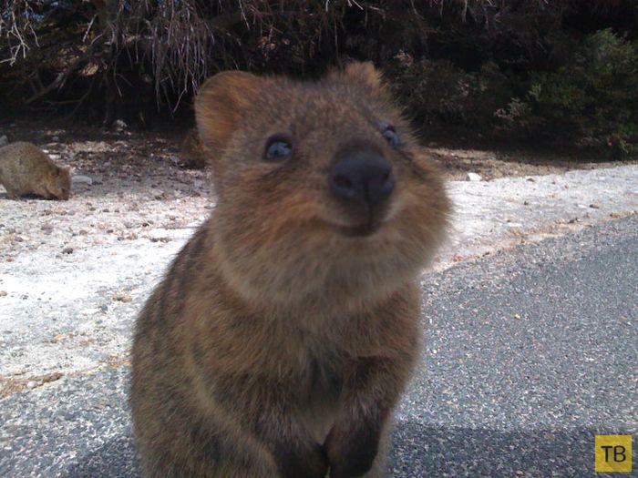 Квокка - милый, позитивный и самый улыбчивый зверек в мире! (14 фото)