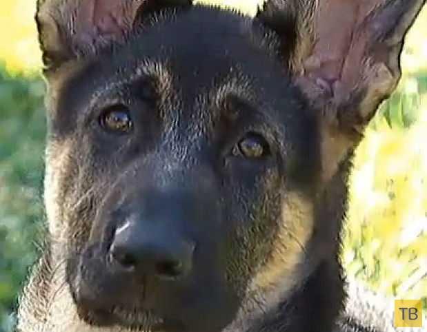 3-месячный щенок немецкой овчарки утопил хозяйскую машину (10 фото)